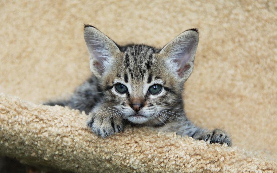 野生猫の血を引くワイルドな見た目の猫6選!飼い方や特徴