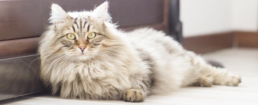 サイベリアンの大きさや毛色などの特徴
