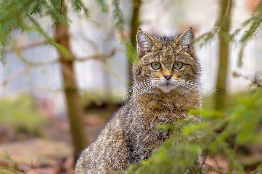 猫の柄「タビー」特徴や性格、しましま柄になる猫種まで
