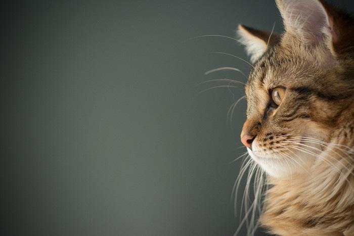 猫の心臓肥大とは?病気の原因や症状、治療法まで