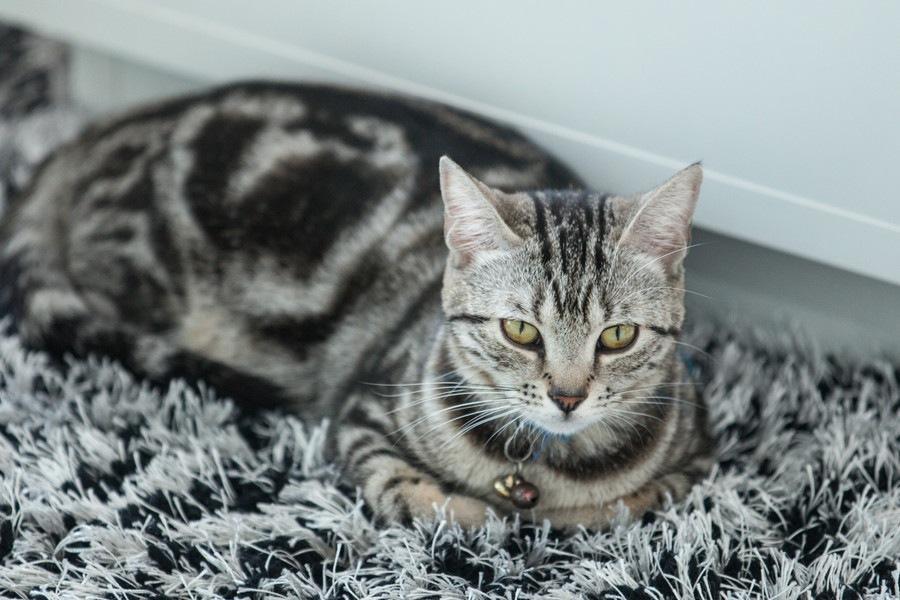 猫の種類の人気ランキングTOP20!海外での人気猫種やその他一覧