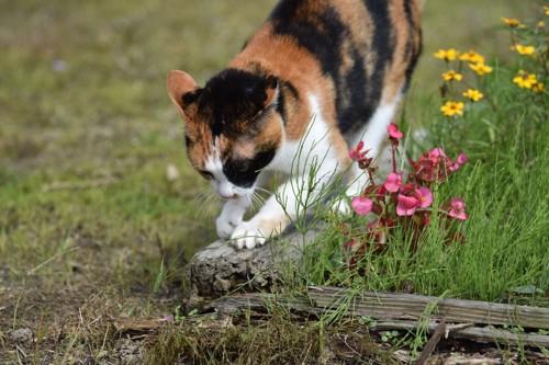 落ちている木で爪をとぐ猫