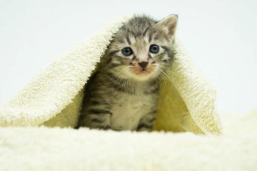 暖かいタオルに隠れる子猫