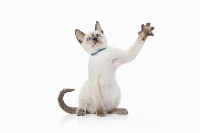 ブルーポイントの猫