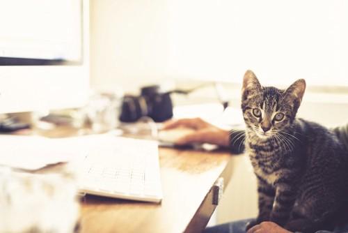 パソコン操作をする飼い主の膝に乗る猫