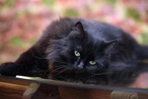 ベンチに横になるエメラルド色の目のペルシャ