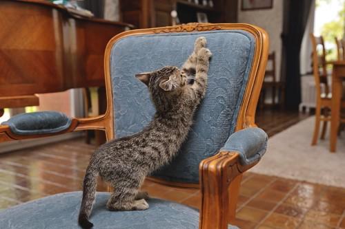 椅子に乗って爪研ぎをする子猫