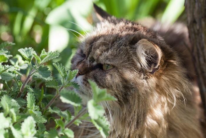 キャットニップの匂いを嗅ぐ猫
