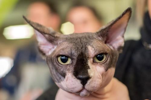 毛の無い猫