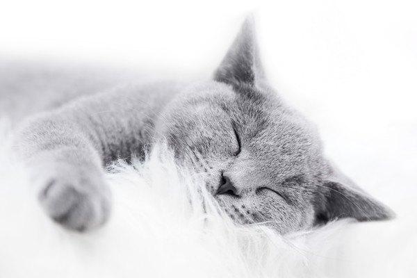 白い場所で寝る灰色猫