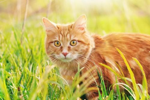 草むらにいる茶トラ猫