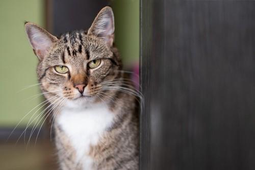 物陰から偉そうにこちらを見ている猫
