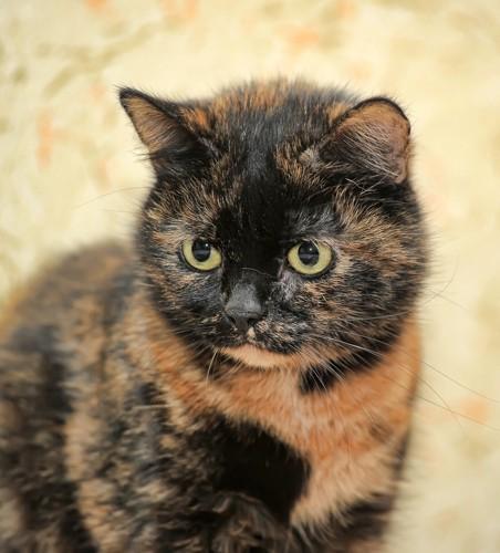 目をそらすサビ猫