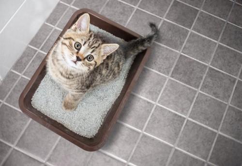 猫用トイレの中で上を見つめる子猫