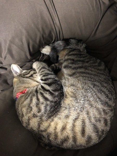 クッションでごめん寝をする猫