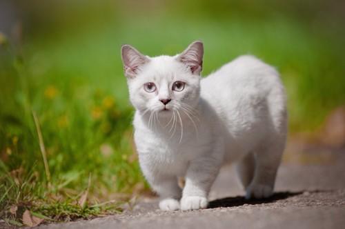 道を歩くマンチカンの子猫