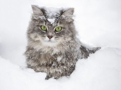 雪遊びをする猫
