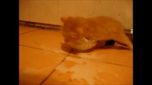 器に入る猫