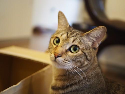 ダンボールの前で振り返る猫
