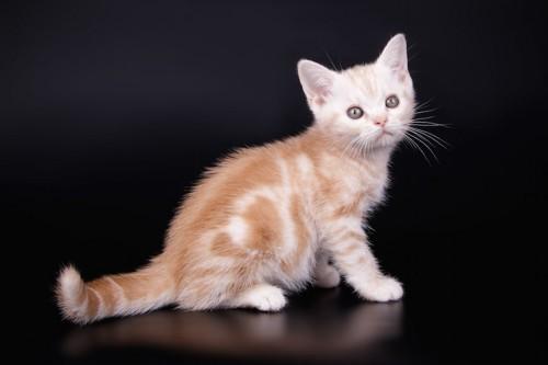 座ってこちらを振り返るアメリカンショートヘアの子猫