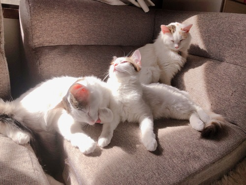 ソファの上でくつろぐ3匹の猫