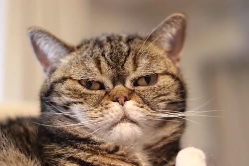 不機嫌そうな顔で見つめる猫
