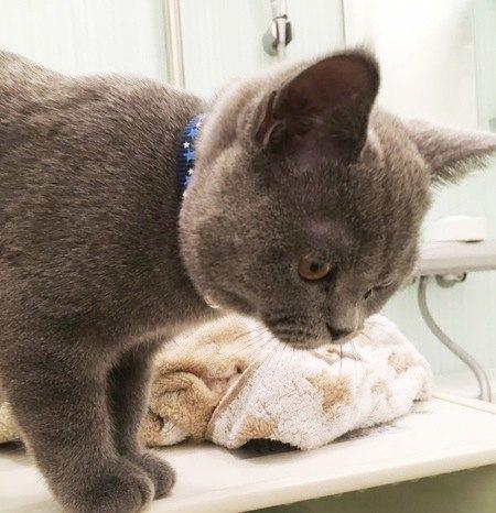 お風呂のふたに乗っている猫