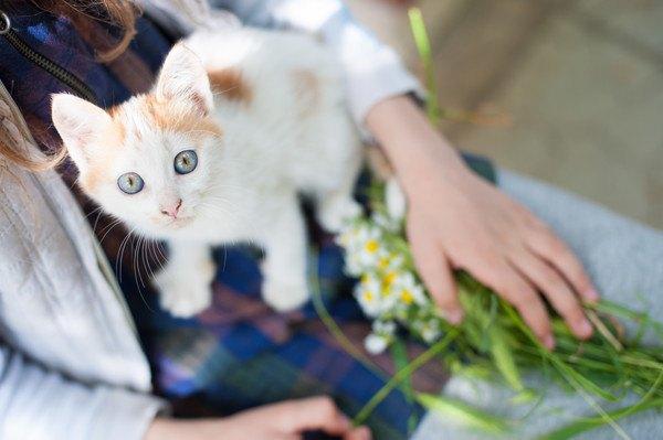 膝の上で白い猫が見上げる