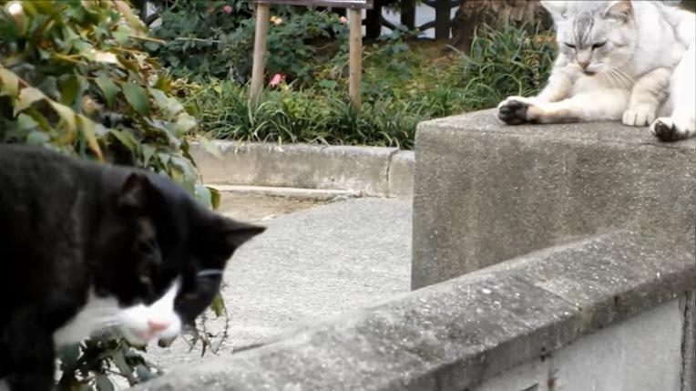 灰色猫とカメラを見つめる黒白猫