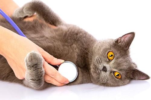 聴診器を当てられているグレーの猫