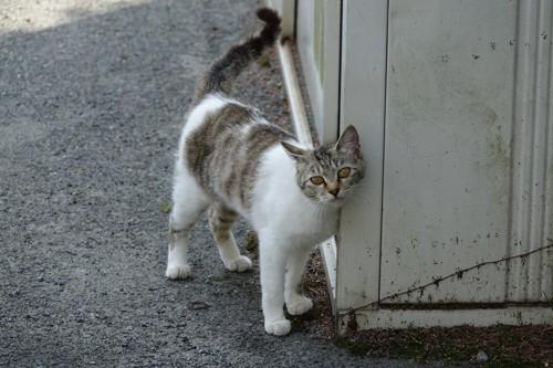 壁にすりすりする猫