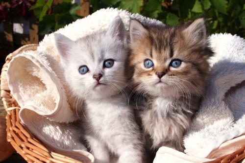 大きな瞳の2匹の子猫