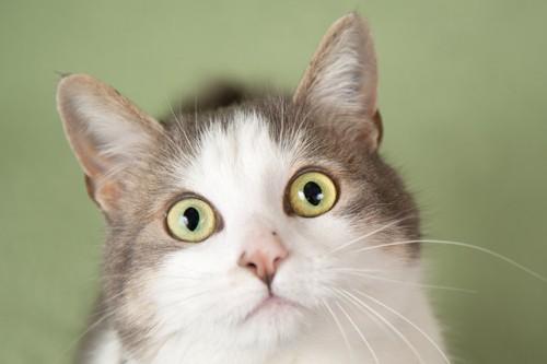 まん丸い目の猫
