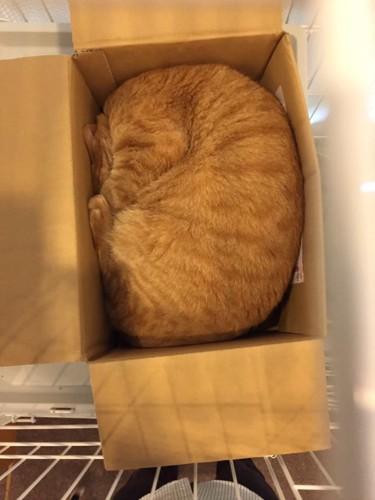茶色の猫がダンボールで寝ている