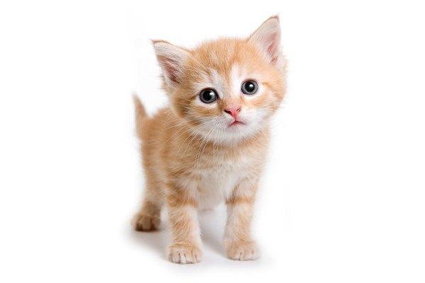 首かしげる茶色のキジ猫
