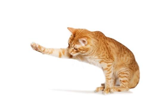 片手を伸ばす茶トラ猫