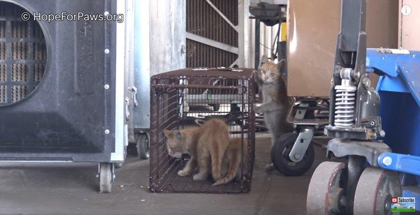 ケージトラップに入る2匹の子猫