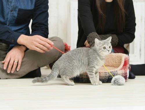 おもちゃで遊ぶ猫と人