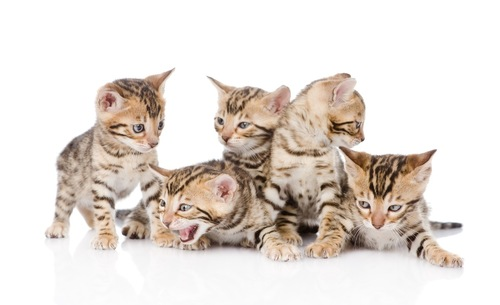 たくさんのベンガルの子猫