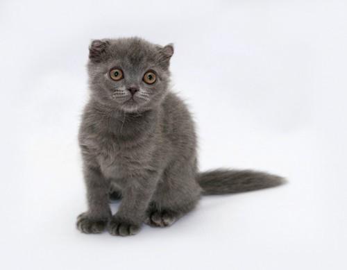 座っている濃いグレーのスコティッシュフォールドの子猫