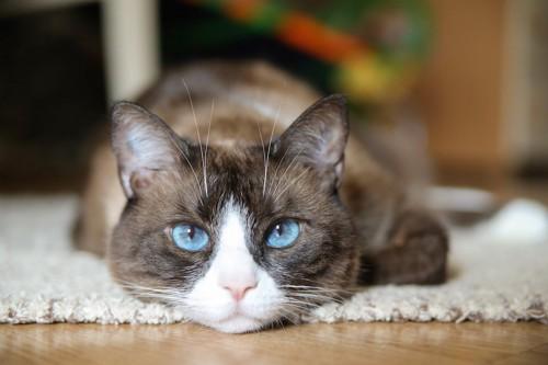 伏せてこちらを見つめる青い瞳の猫