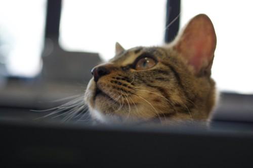 真剣に何かを見つめる猫の横顔