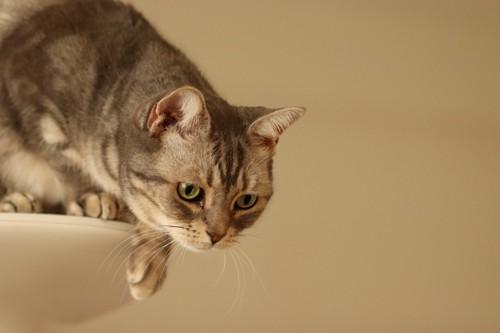 狩りスタイルな猫