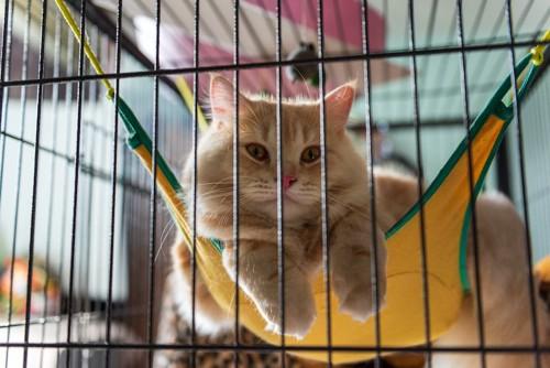 ケージの中のハンモックでマッタリする猫