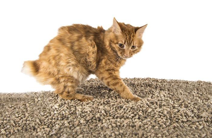 猫砂の上に立つ猫