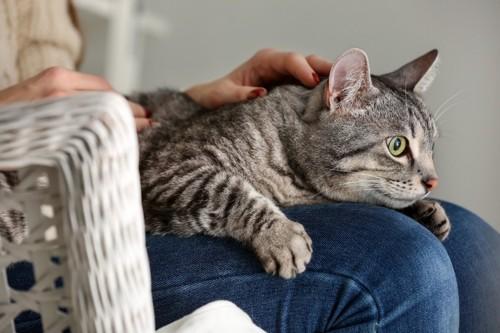 膝に抱きつく猫