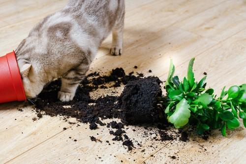 割れた植木鉢に顔を入れる猫