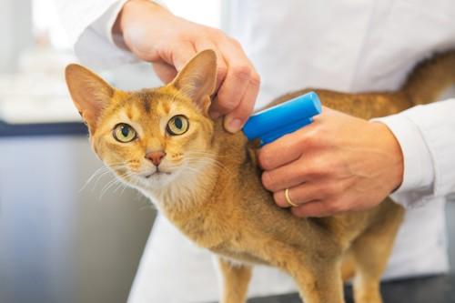 マイクロチップを埋め込まれる猫