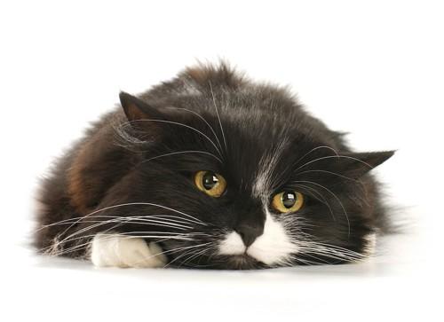 床に伏せて不満げな顔をした猫
