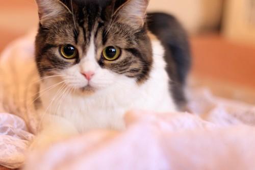 布団の上からこちらをじっと見つめる猫